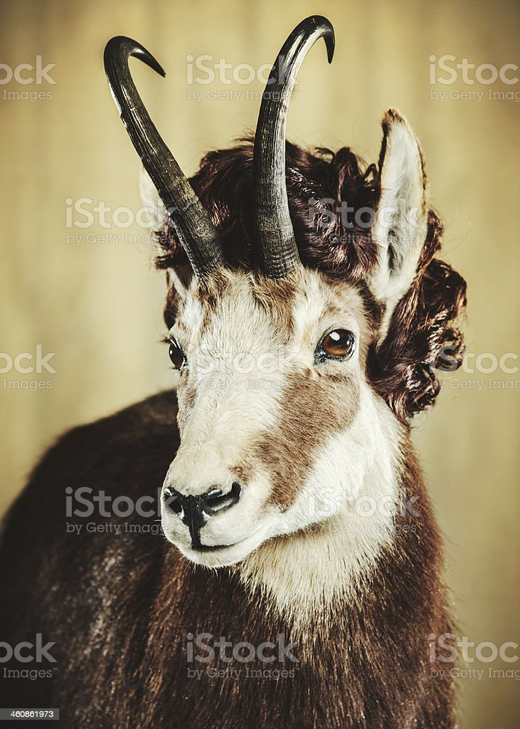 Ram With Wig stock photo