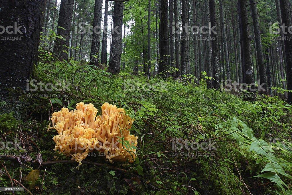 ramaria aurea stock photo