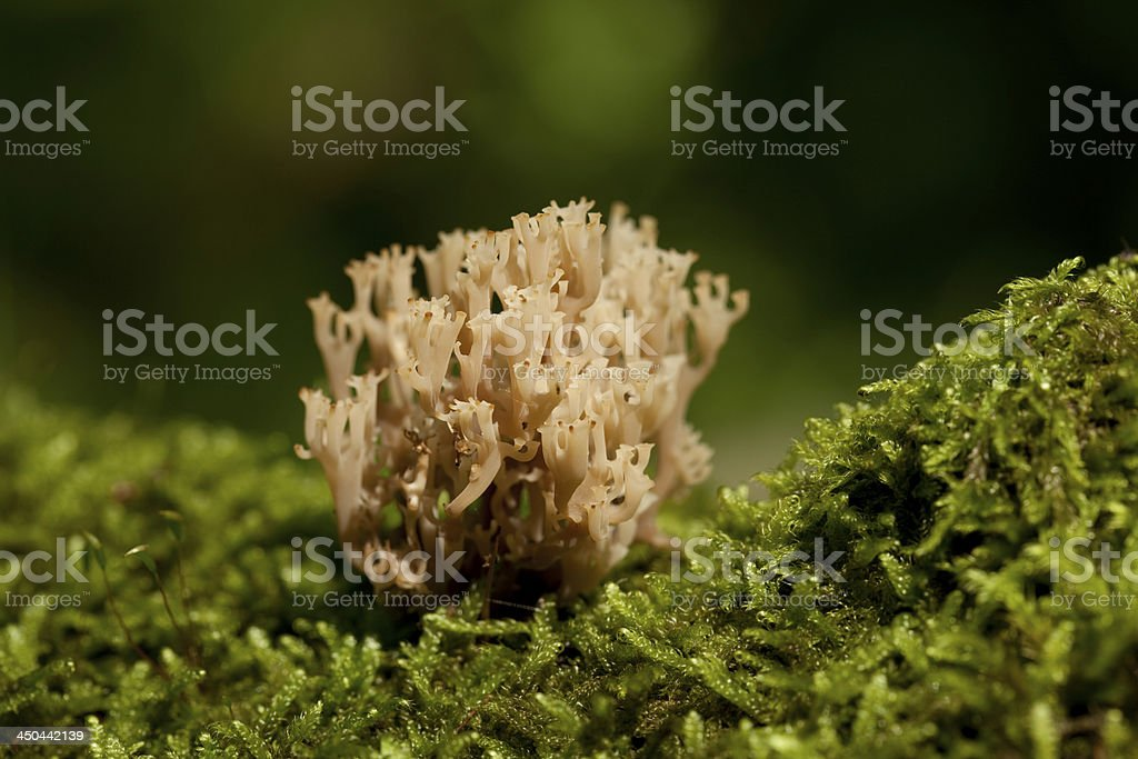 Ramaria stricta stock photo