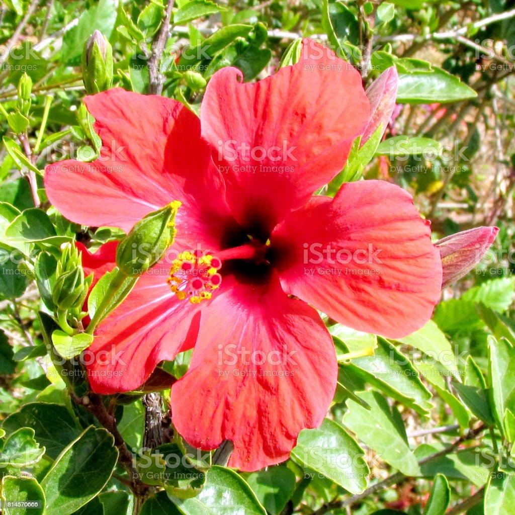 Ramat Gan Wolfson Park Red Hibiscus flower 2011 stock photo