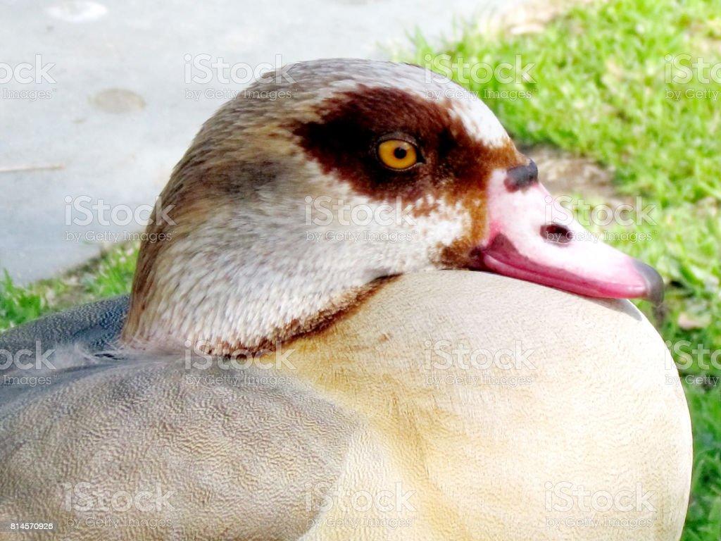 Ramat Gan Wolfson Park the Egyptian geese 2012 stock photo
