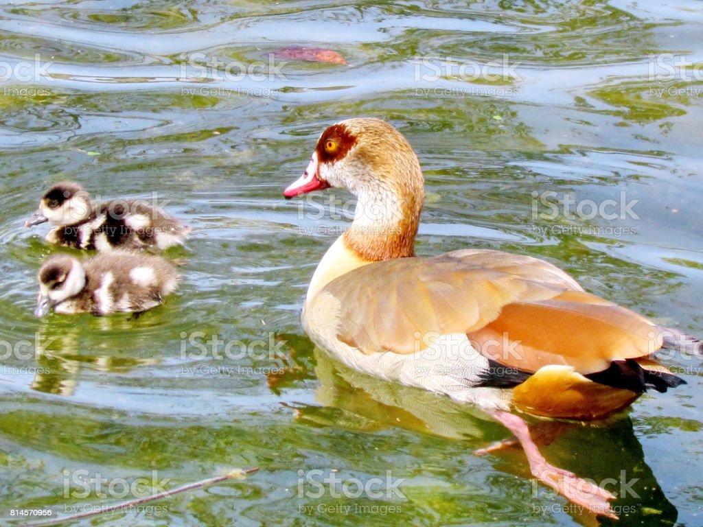 Ramat Gan Wolfson Park the Egyptian geese on a pond 2012 stock photo