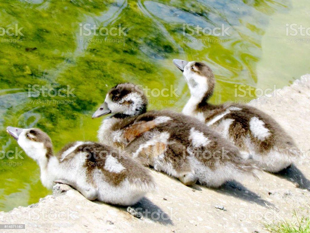 Ramat Gan Wolfson Park three duckling 2012 stock photo