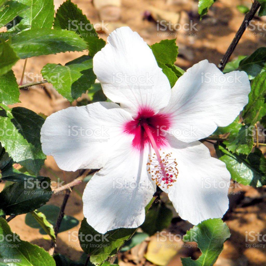 Ramat Gan Wolfson Park white Hibiscus 2010 stock photo