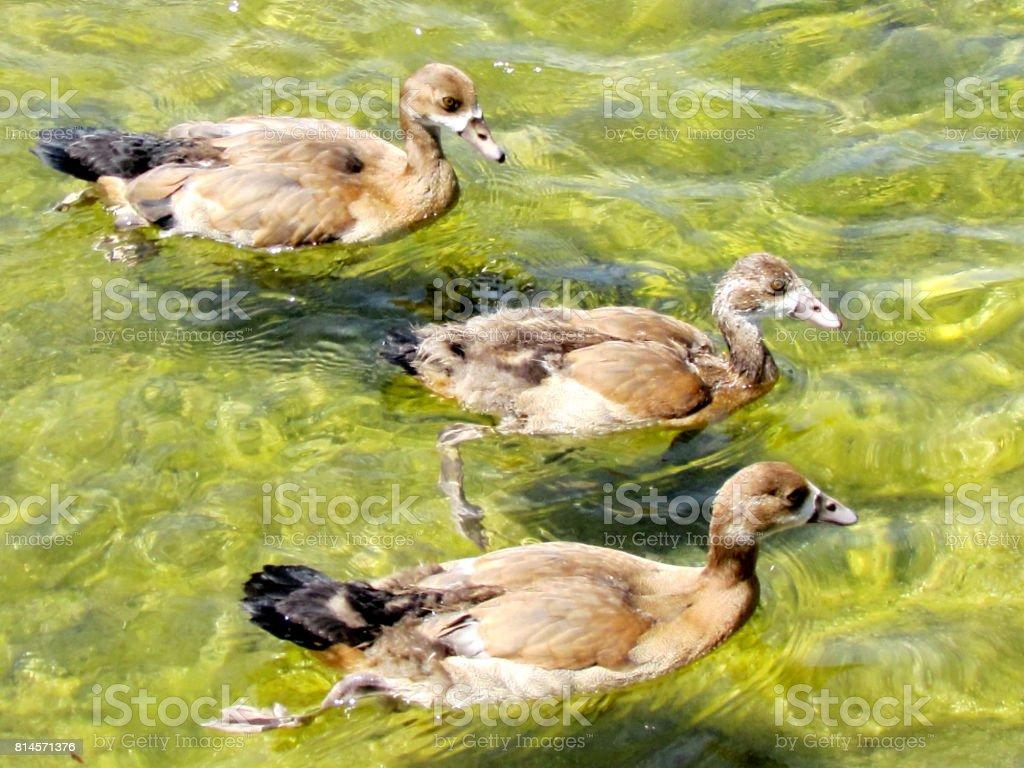 Ramat Gan Wolfson Park Young Egyptian geese 2012 stock photo