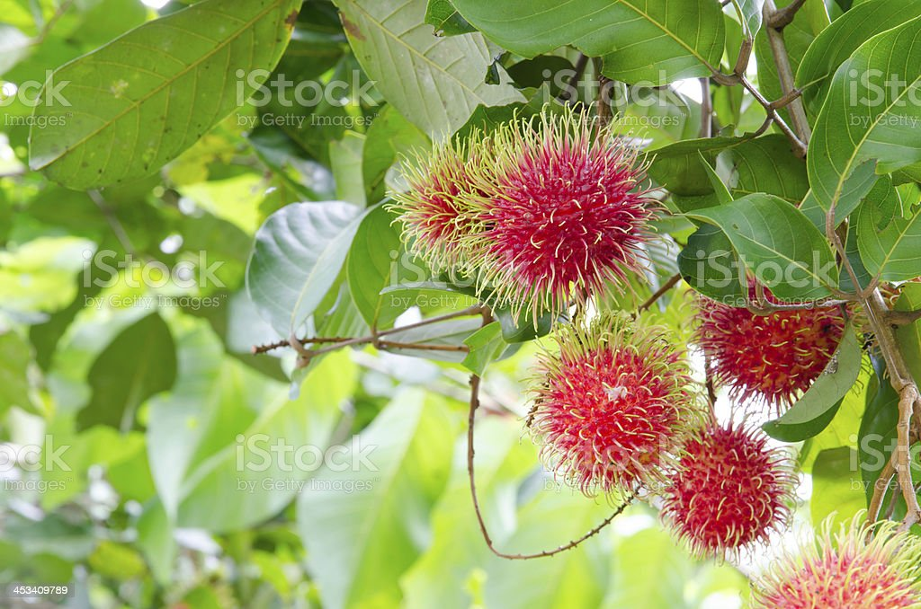 Rambutan trees. royalty-free stock photo