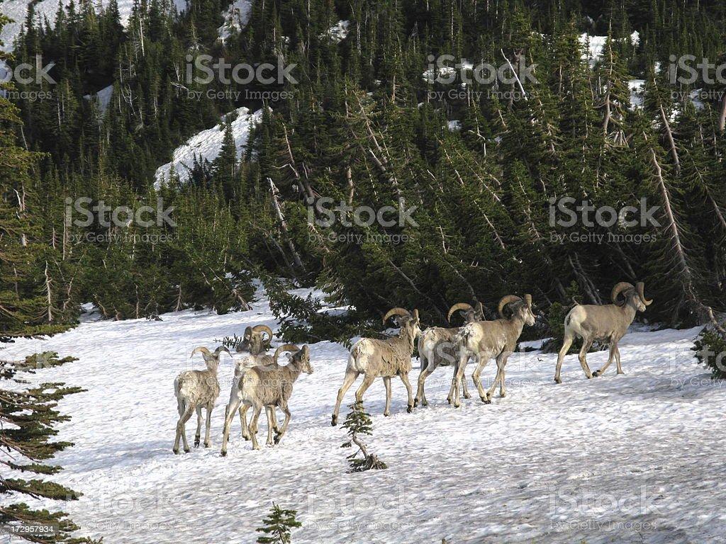 Rams Bighorn Sheep Winter Herd royalty-free stock photo