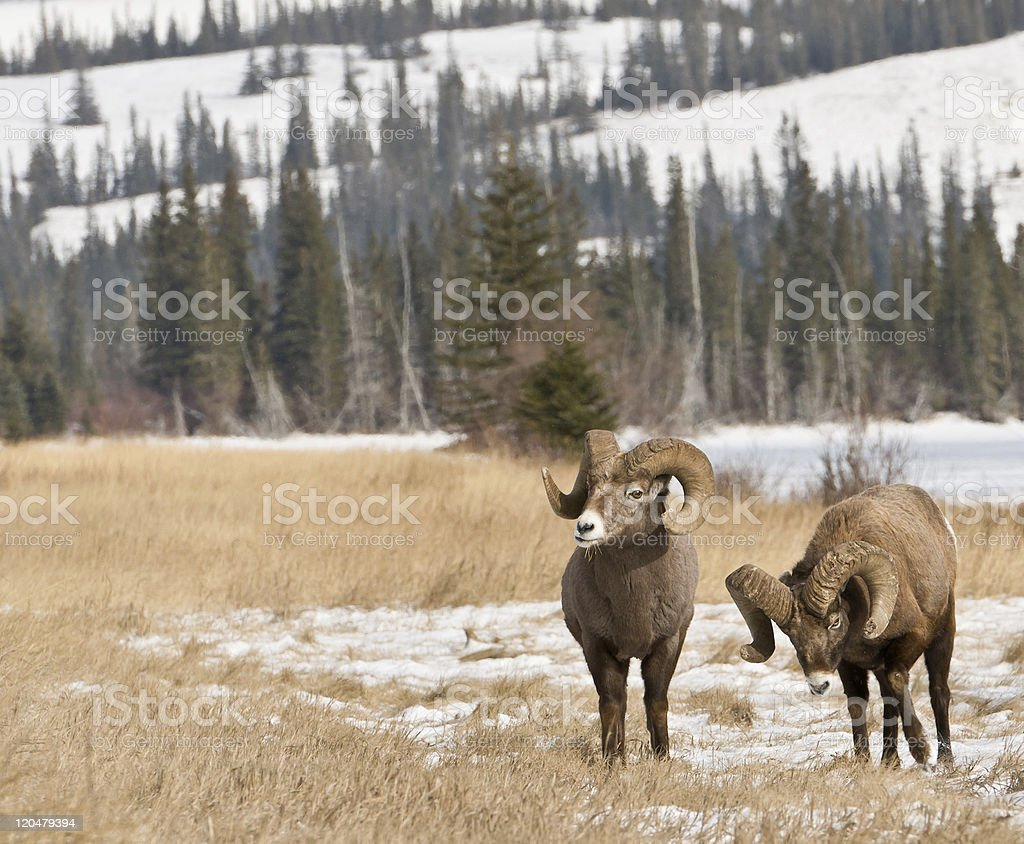Rams in the Canadian Rockies stock photo