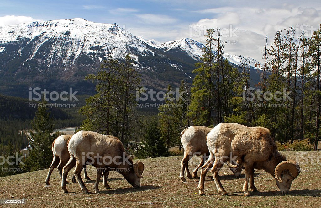 Rams of Bighorn Sheep Herd stock photo