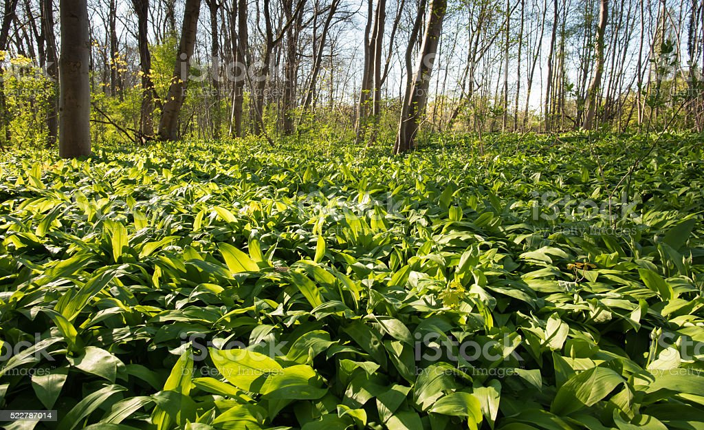 ramson field in the forest stock photo