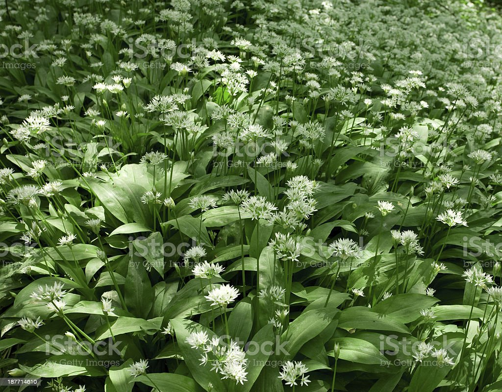 Ramsons, Allium ursinum stock photo