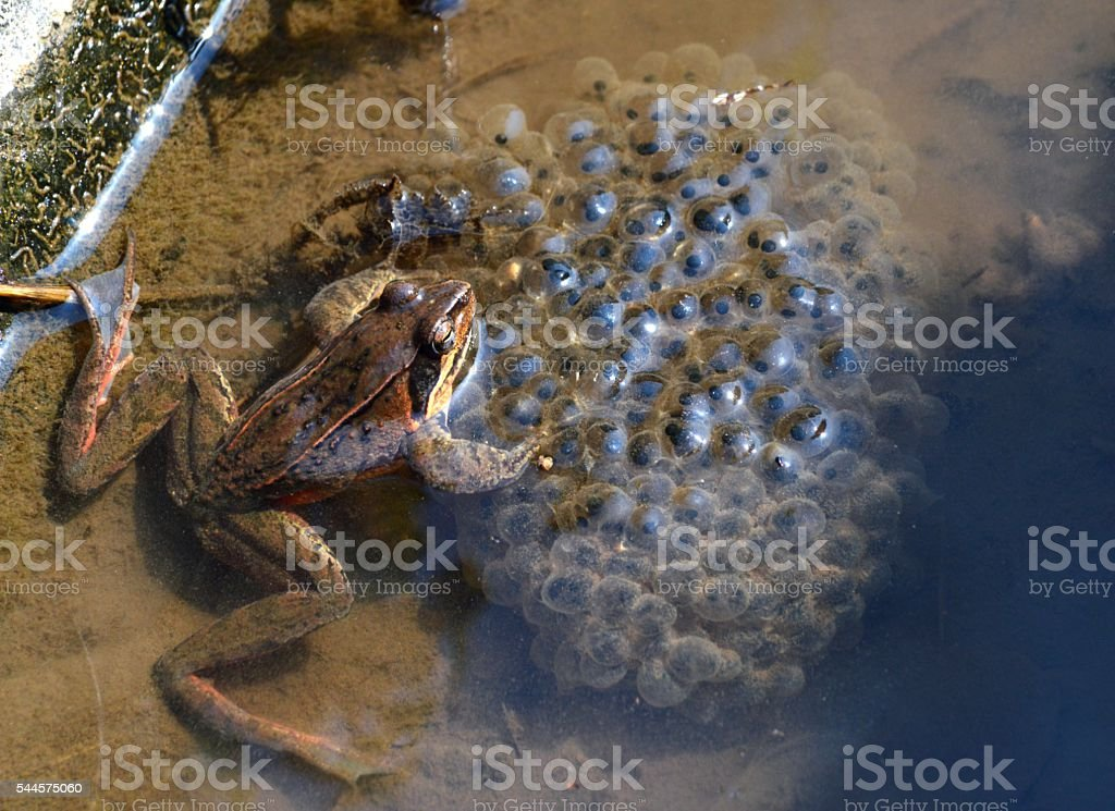 Rana ornativentris stock photo