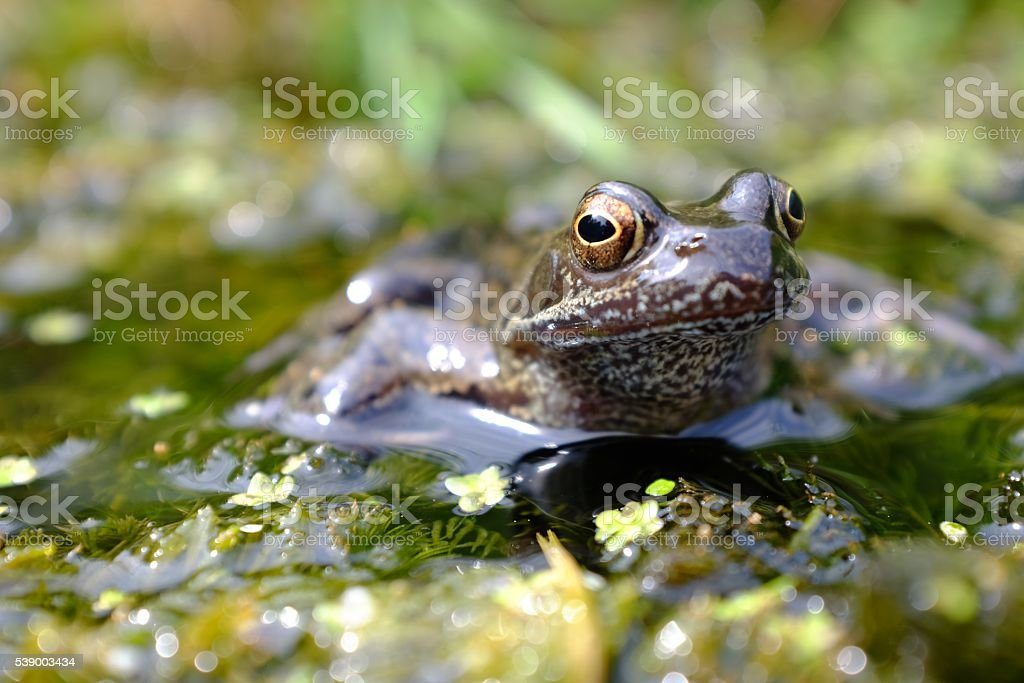 Rana temporaria sitting on pond weed stock photo
