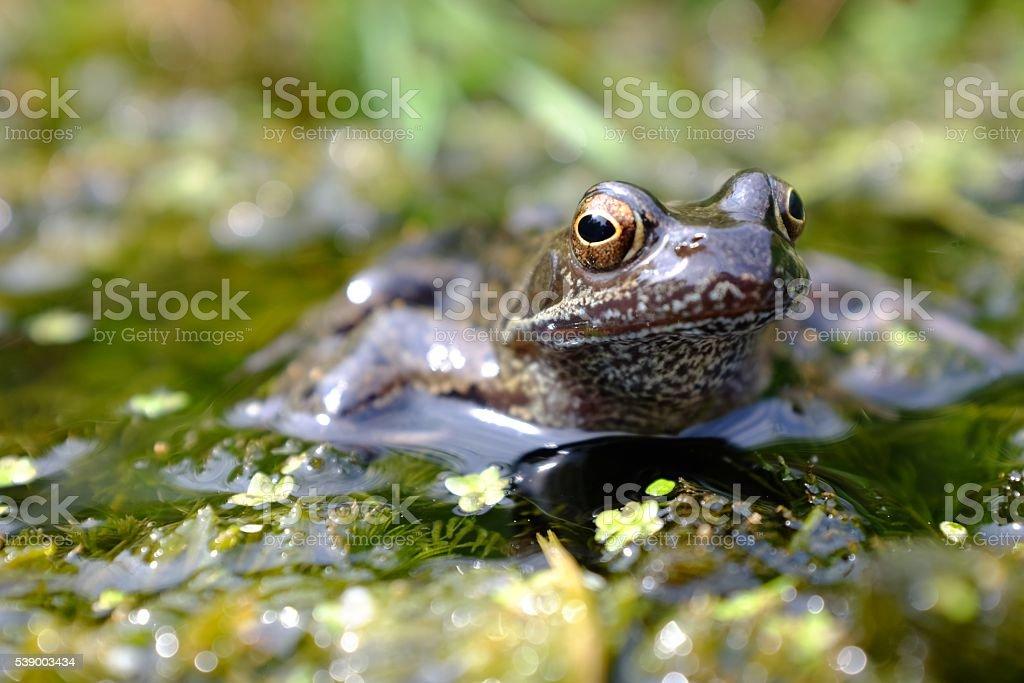 Rana temporaria sitting on pond weed stock photo