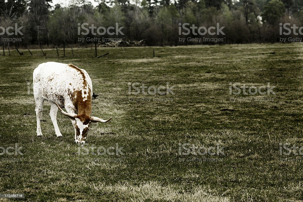 Ranch Animals:  Longhorn cow in pasture. royalty-free stock photo