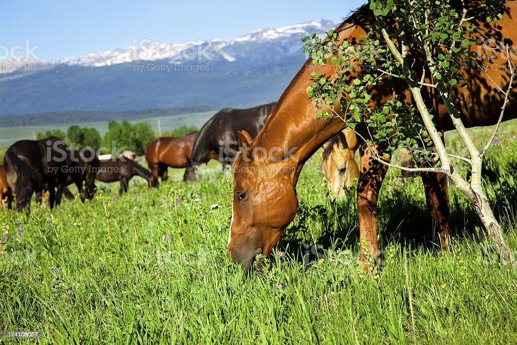 Ranch:  Beautiful, healthy sleek horses grazing on the mountainside. royalty-free stock photo