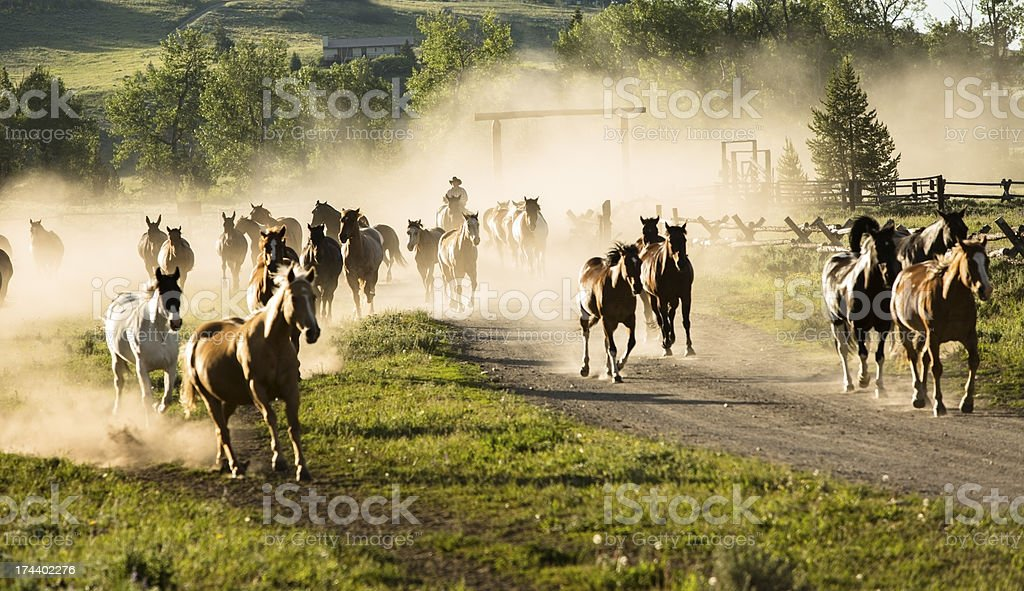 Ranch: Herd of horses being rounded up by cowboy. stock photo