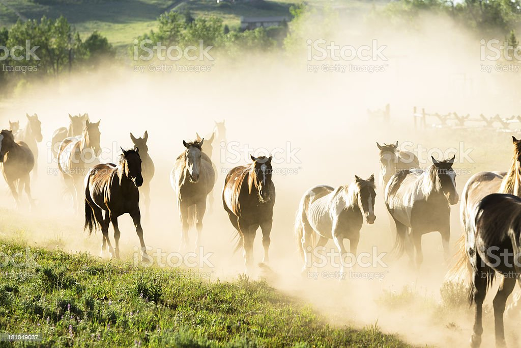 Ranch: Herd of horses galloping down dusty trail. Wild west stock photo