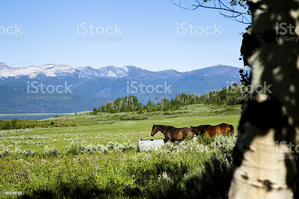 Ranch:  Horses at water trough in Rocky Mountain pasture. royalty-free stock photo