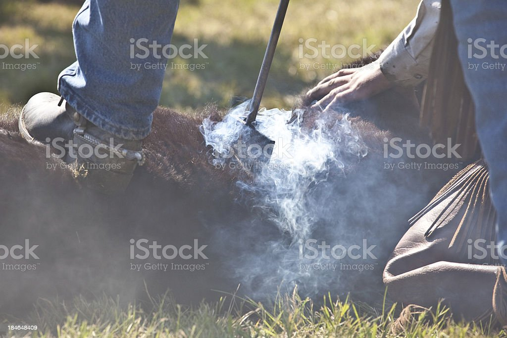 Rancher branding cattle with a brander stock photo