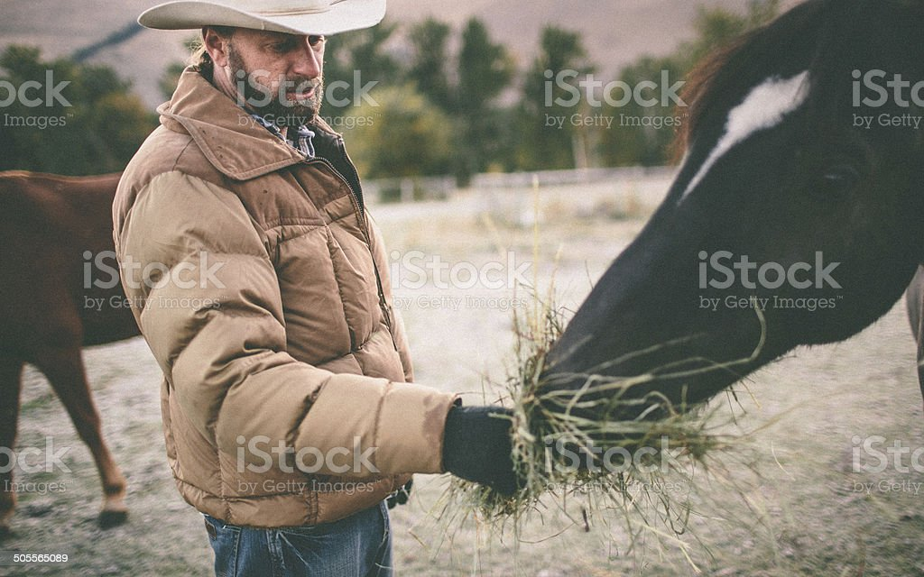 Rancher stands in pasture and feeds horse hay from hand royalty-free stock photo