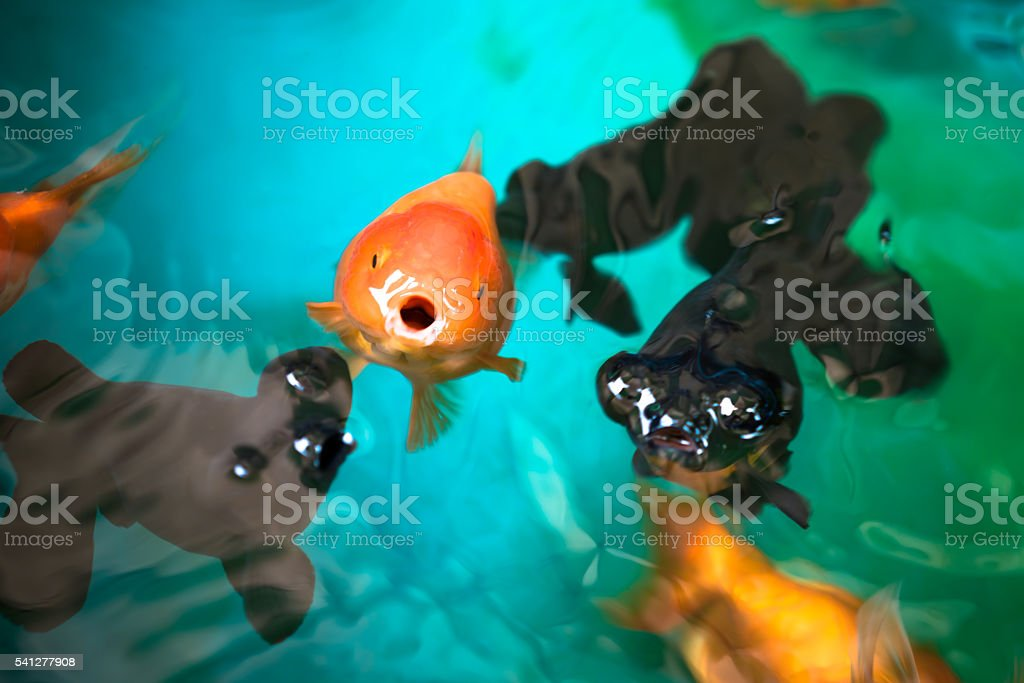 Ranchu and Celestial eye gold fishes breathing on water surface stock photo