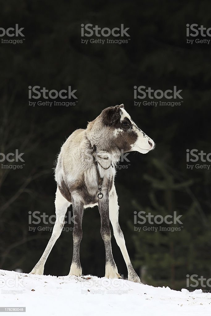 Rangifer tarandus royalty-free stock photo