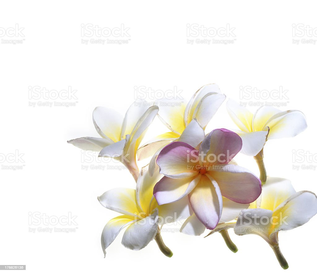 rangipani (plumeria) flowers royalty-free stock photo
