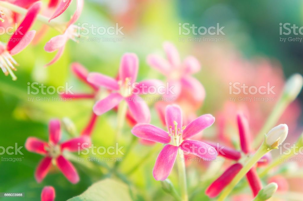 Rangoon Creeper flowers, Chinese honey Suckle, Drunen sailor flowers, blossom pink flowers stock photo