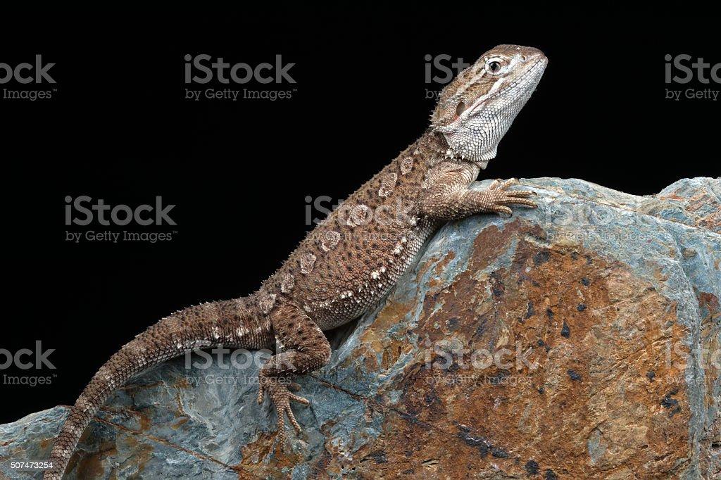 Rankin's Dragon (Pogona Henrylawsoni) stock photo