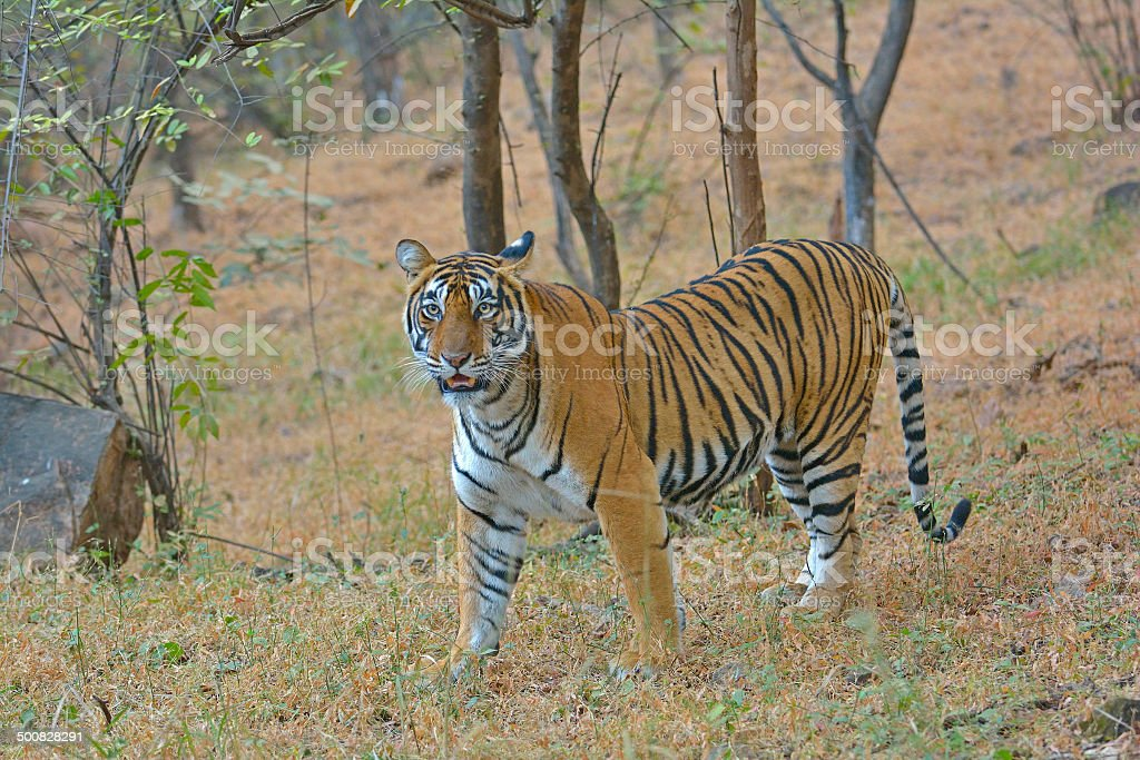 Ranthambore tiger in winters stock photo