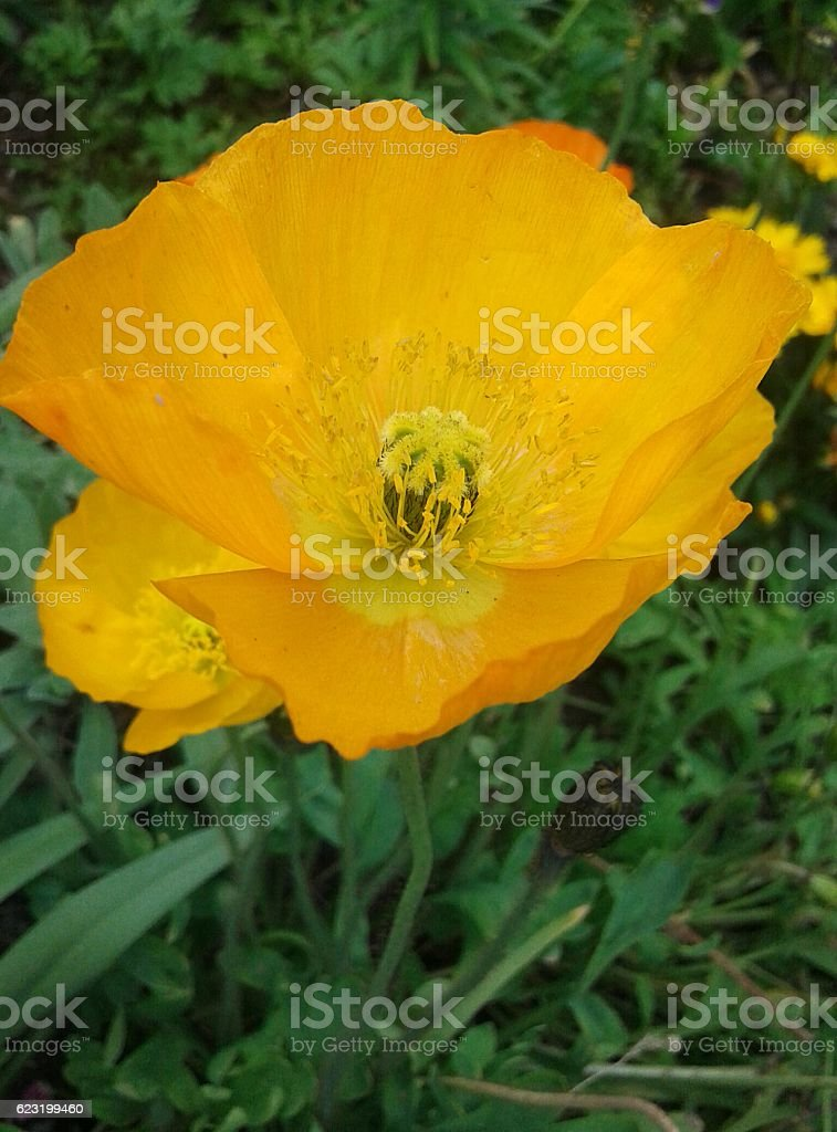 Ranunculus, 5th of August 2016 stock photo