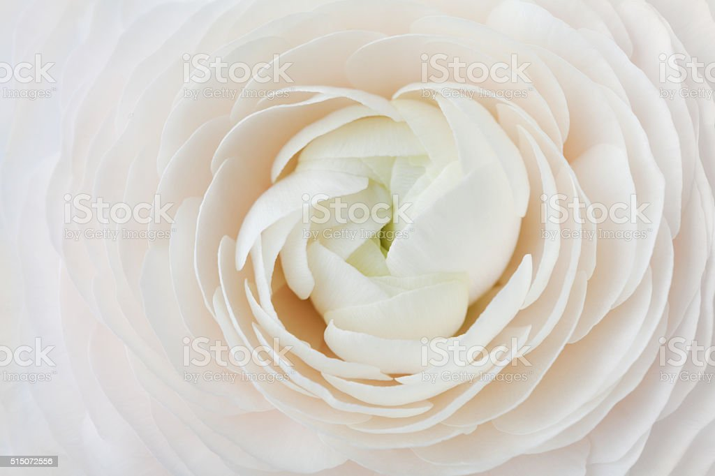 Ranunculus abstract background, spring flower, wedding floral pattern, macro stock photo