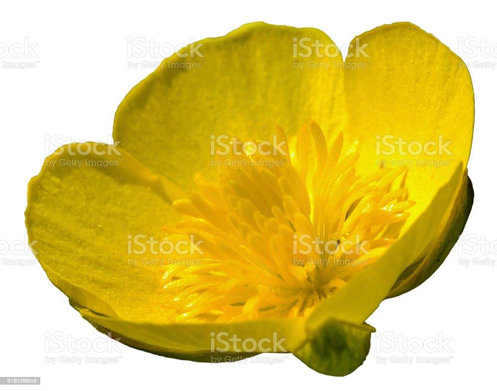 Ranunculus Acris stock photo