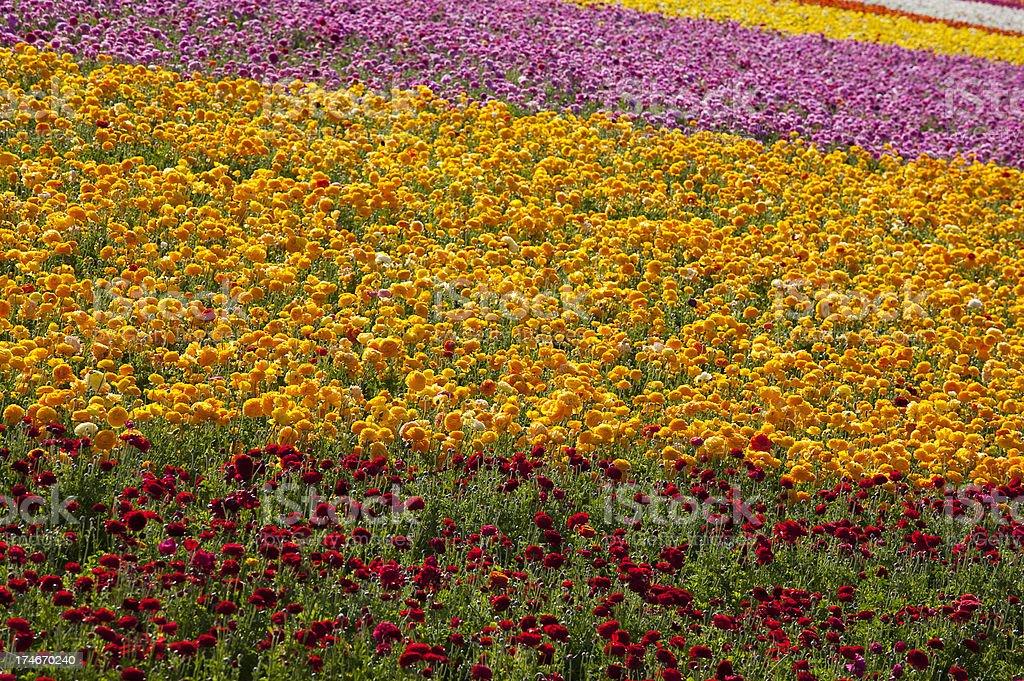 Ranunculus Flower Field, Stripes, Pattern, Spring, Vivid Color royalty-free stock photo