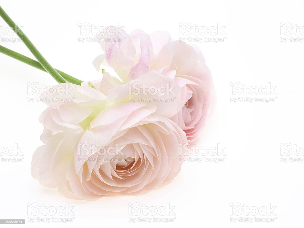 Ranunculus in high angle shooting stock photo
