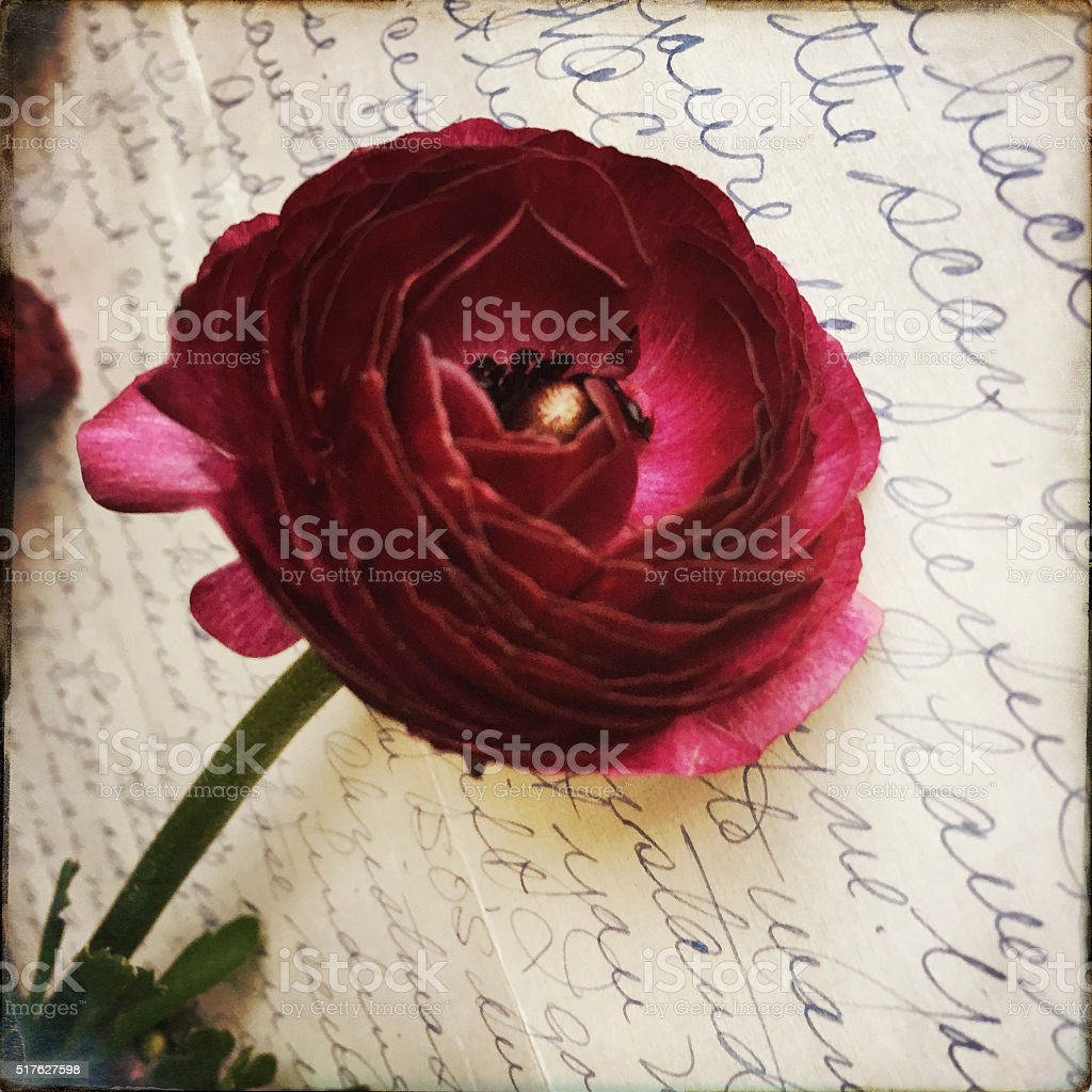 Ranunculus on Old Letter stock photo