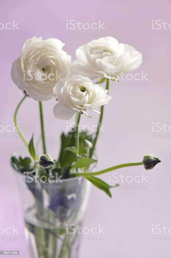 Ranunculus royalty-free stock photo