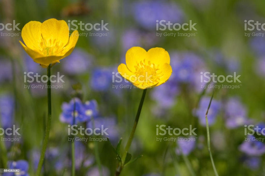 Ranunculus repens, the creeping buttercup stock photo