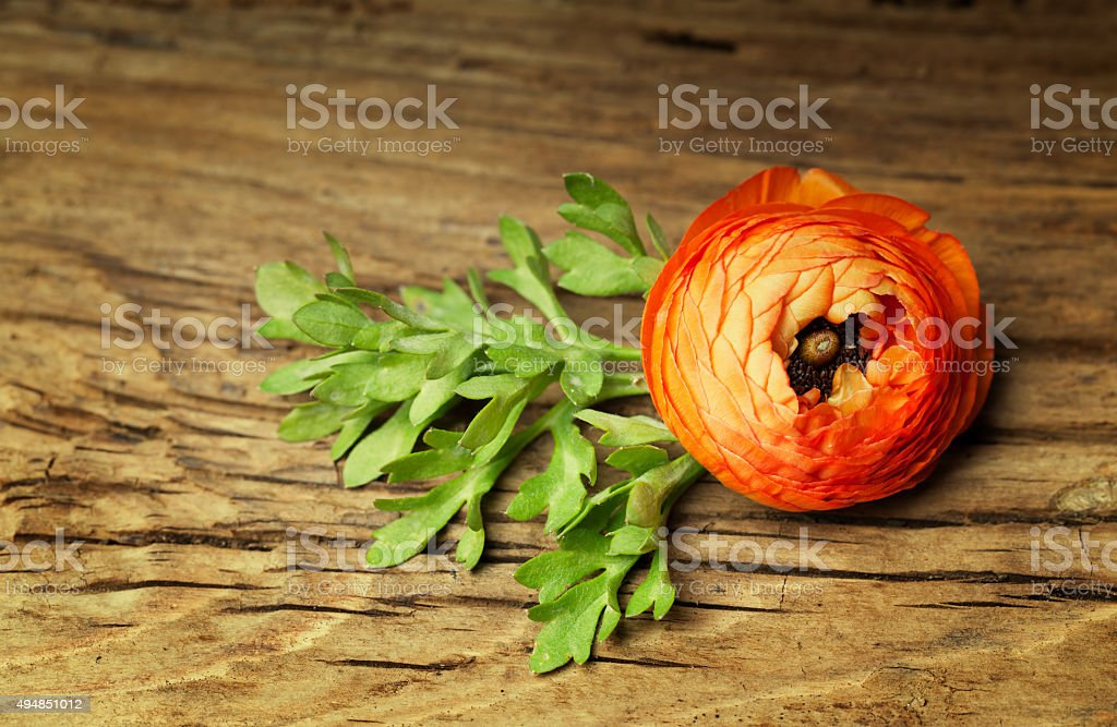 Ranunculus with leaf on vintage wooden background stock photo