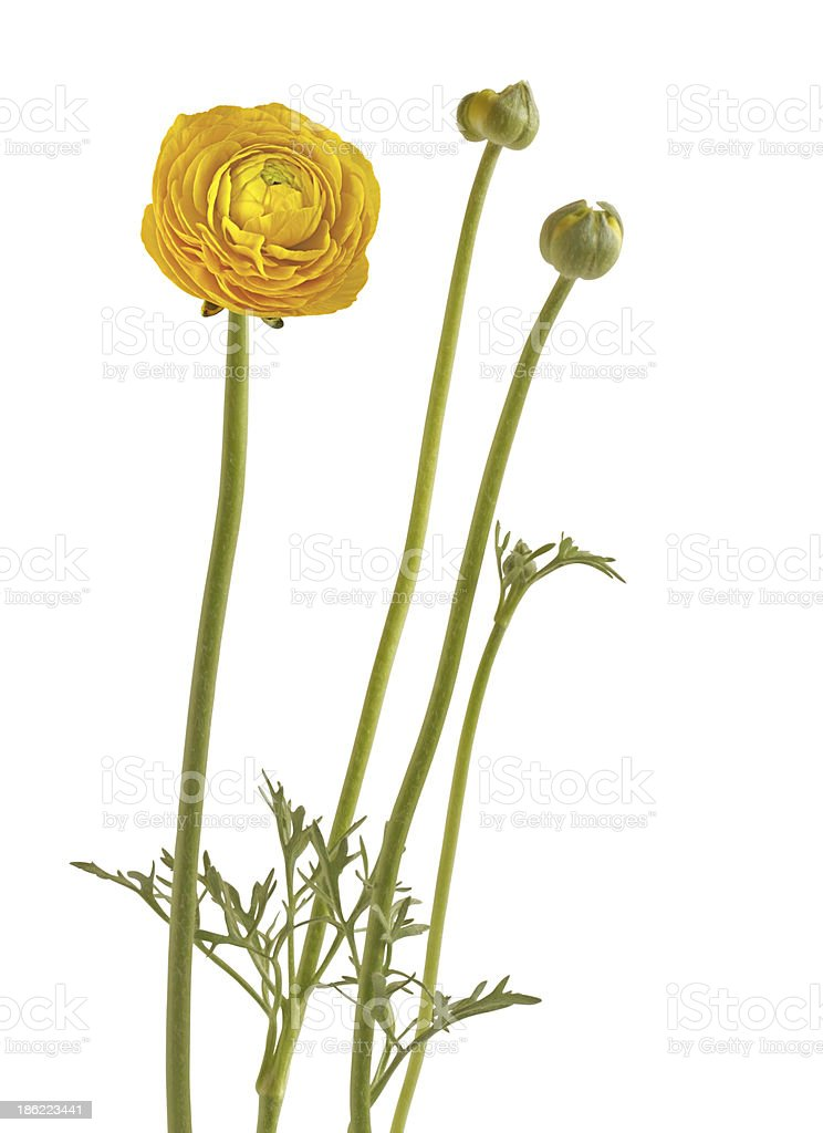 Ranunculus yellow on white background royalty-free stock photo
