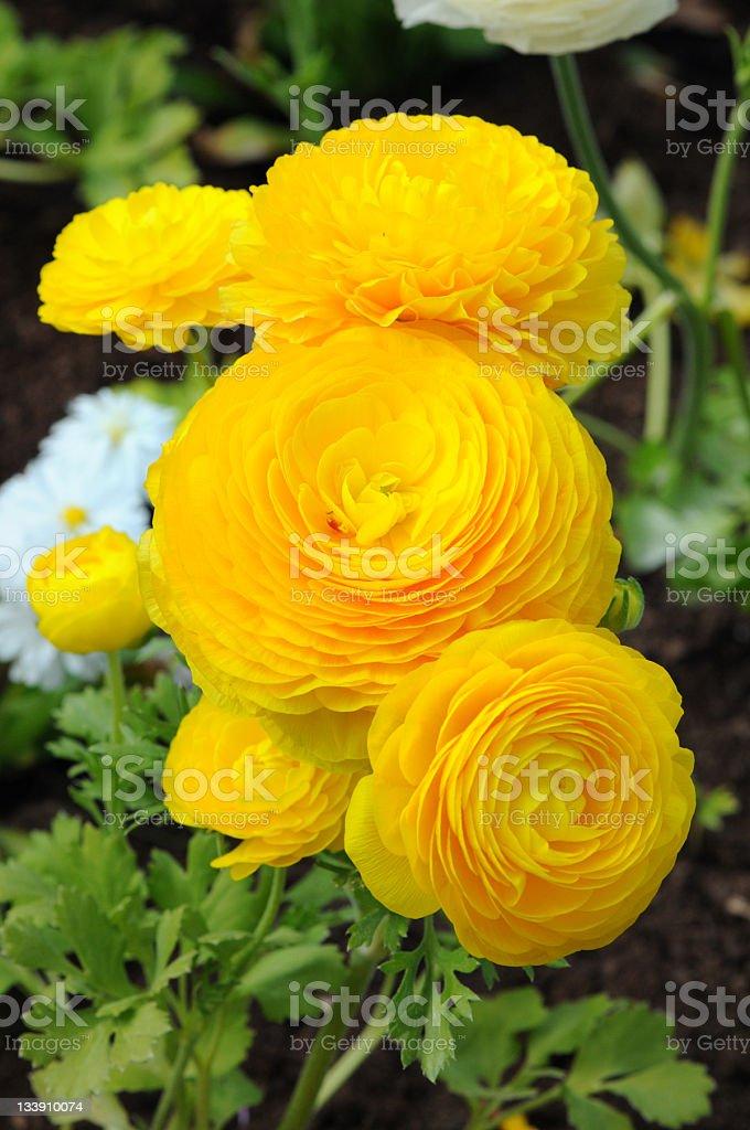 Ranunkel - orange yellow buttercups flower stock photo