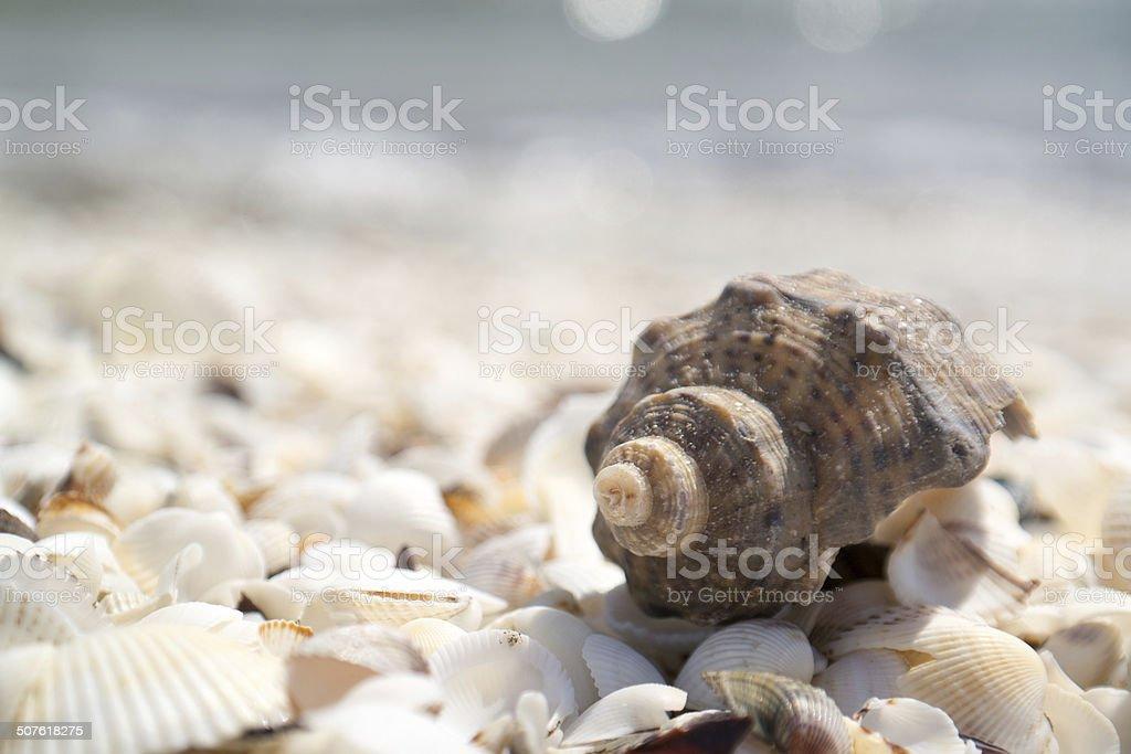 Rapana stock photo