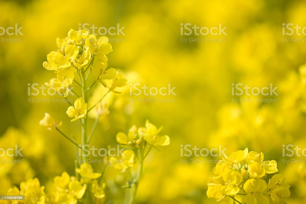 Rape blossom stock photo