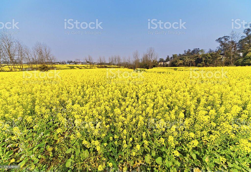 rape blossoms field royalty-free stock photo