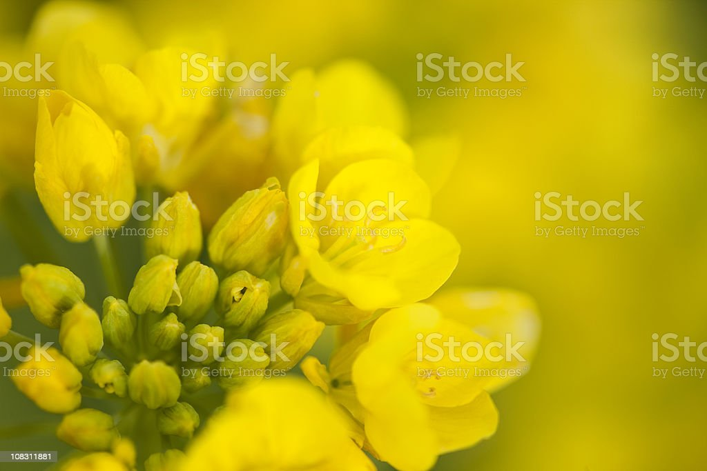 Rape Blossoms stock photo