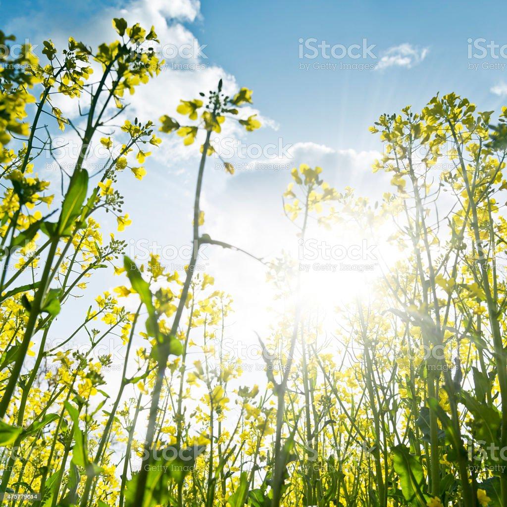 Rape field against sunlight, Oilseed Rape, Canola stock photo