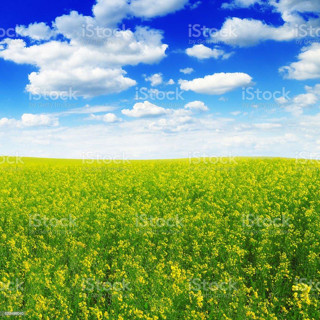 rape field and blue sky stock photo