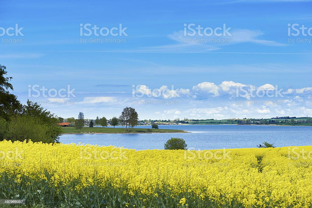 Rape Field And Kerteminde Inlet stock photo