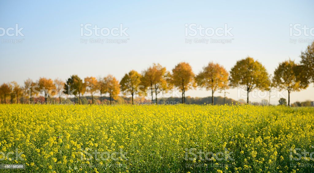 Rape field and row of autumnal trees stock photo